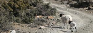 Sutherlamb - Karoo Lamb - South Africa